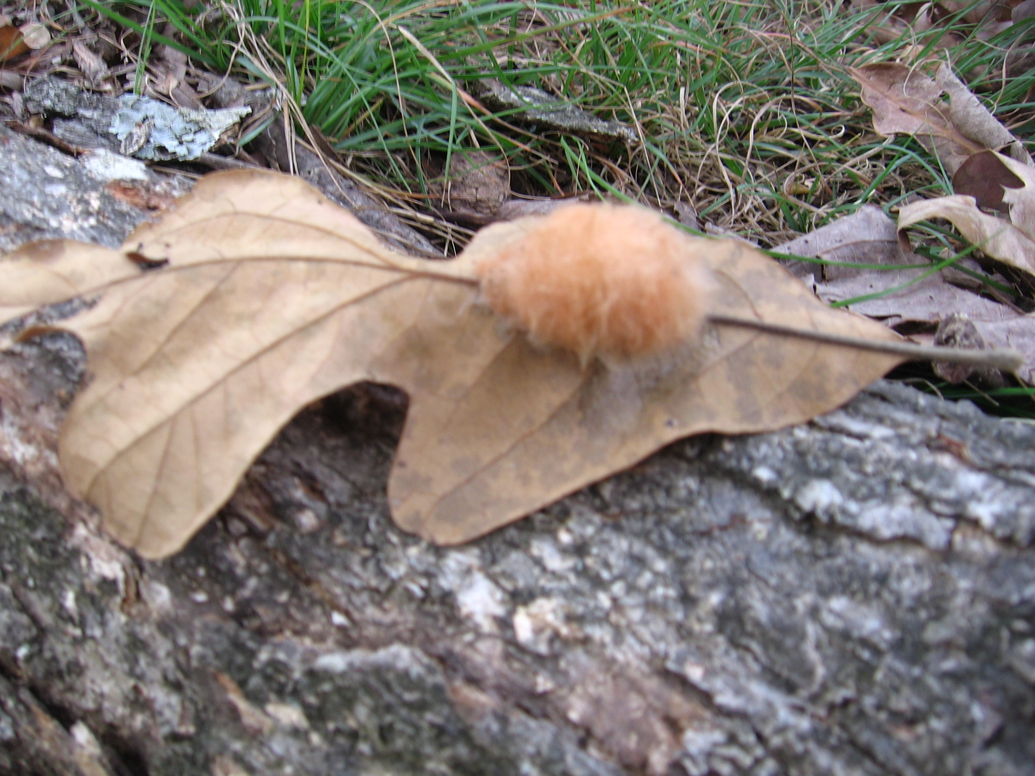Fuzzy Brown Things Everywhere!  – Leaf Galls