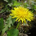 The Many Uses of Dandelion – Taraxacum officinale