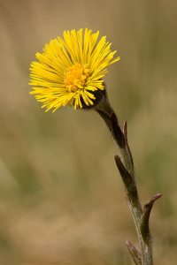 Coltsfoot -Tussilago farfara - Flower