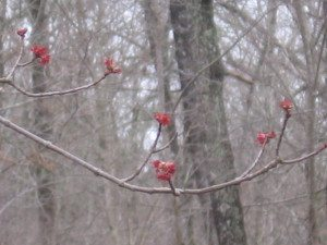 Red (Swamp) Maple Blooms