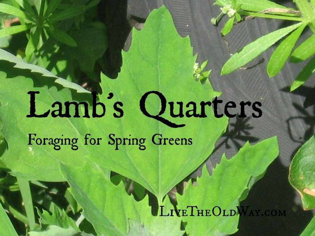 Lamb's Quarters foraging