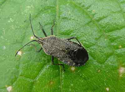 Adult Squash Bug on leaf