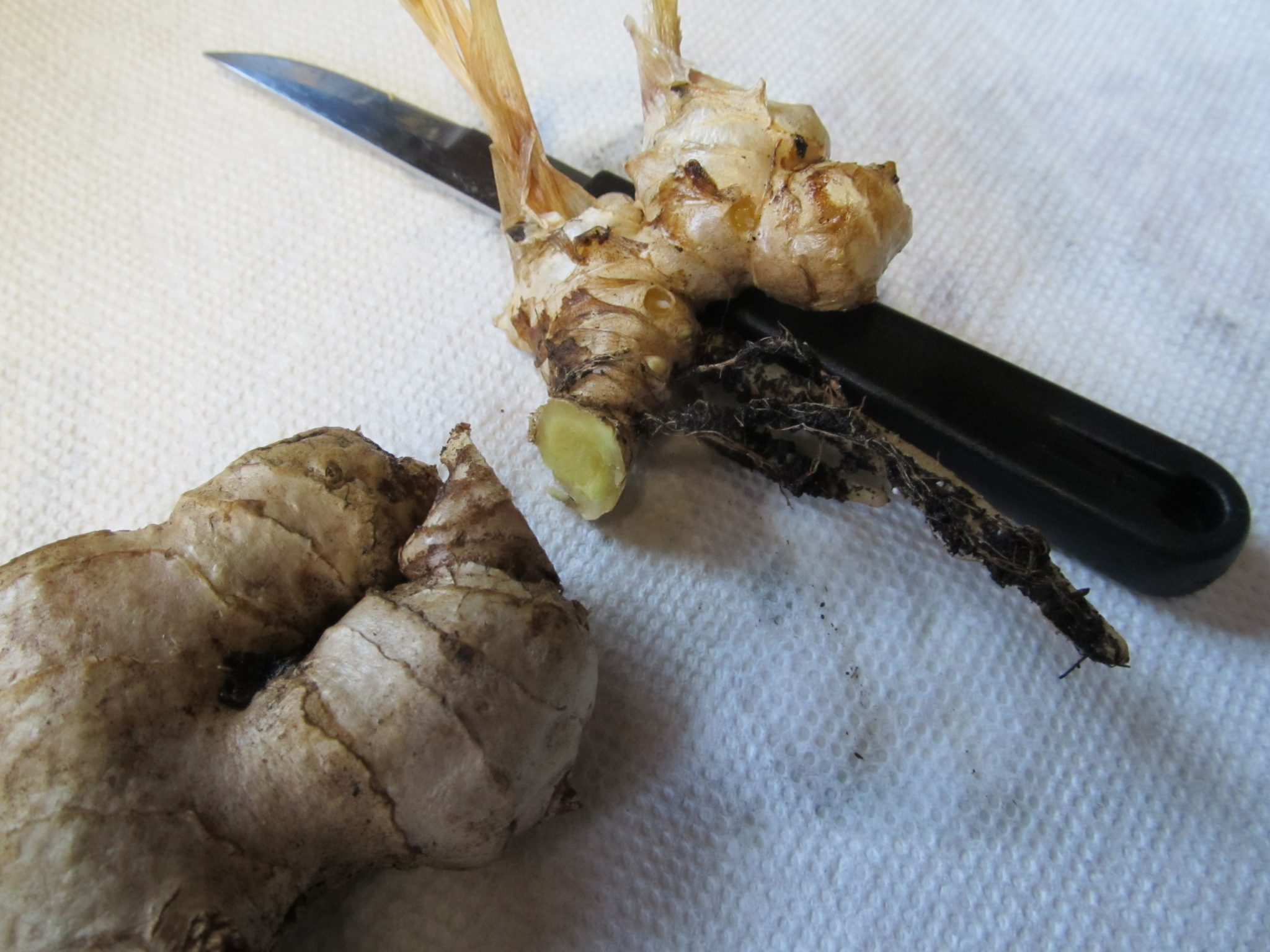 Grow your own Ginger