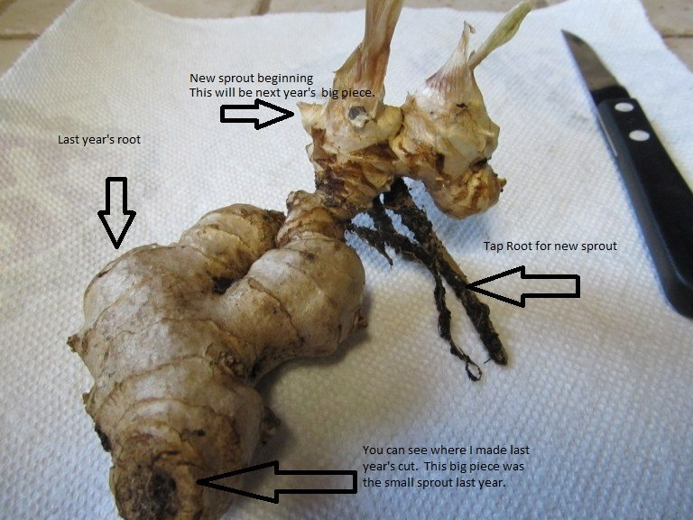 Grow your own ginger root