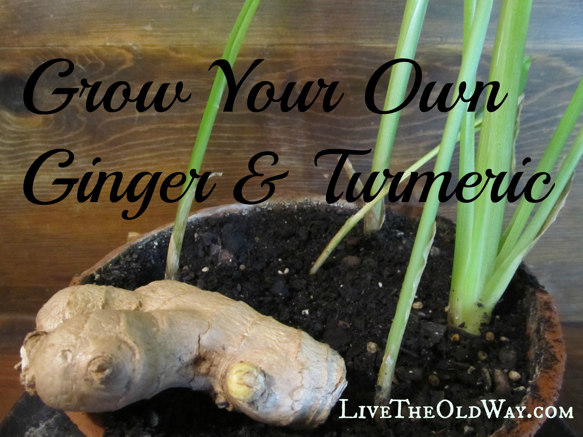 Grow your own Ginger Root Turmeric Root