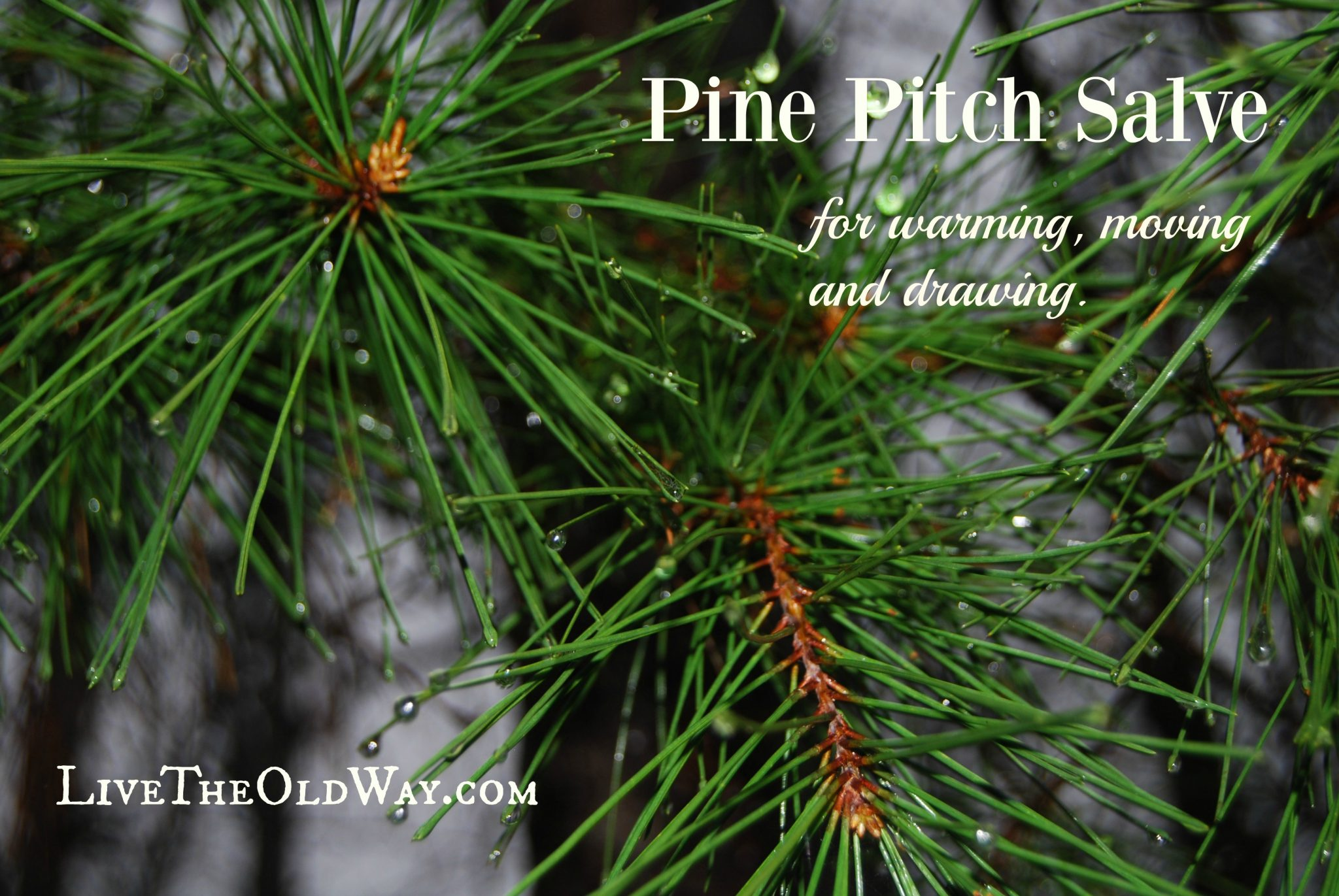 pine pitch drawing salve