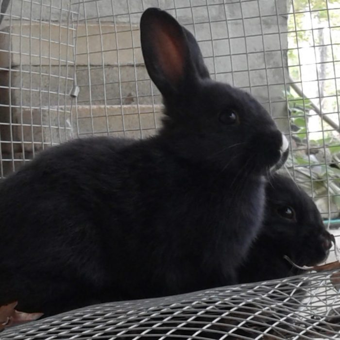 How To Determine The Gender Of A Rabbit And Why We Free-Range Ours