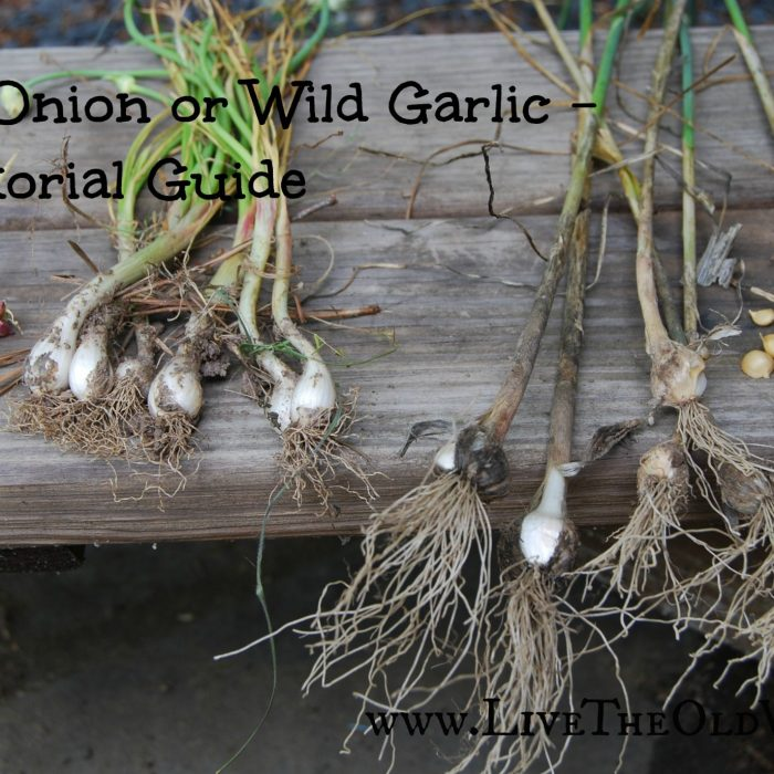 Wild Onion or Wild Garlic? A Pictorial Identification Guide