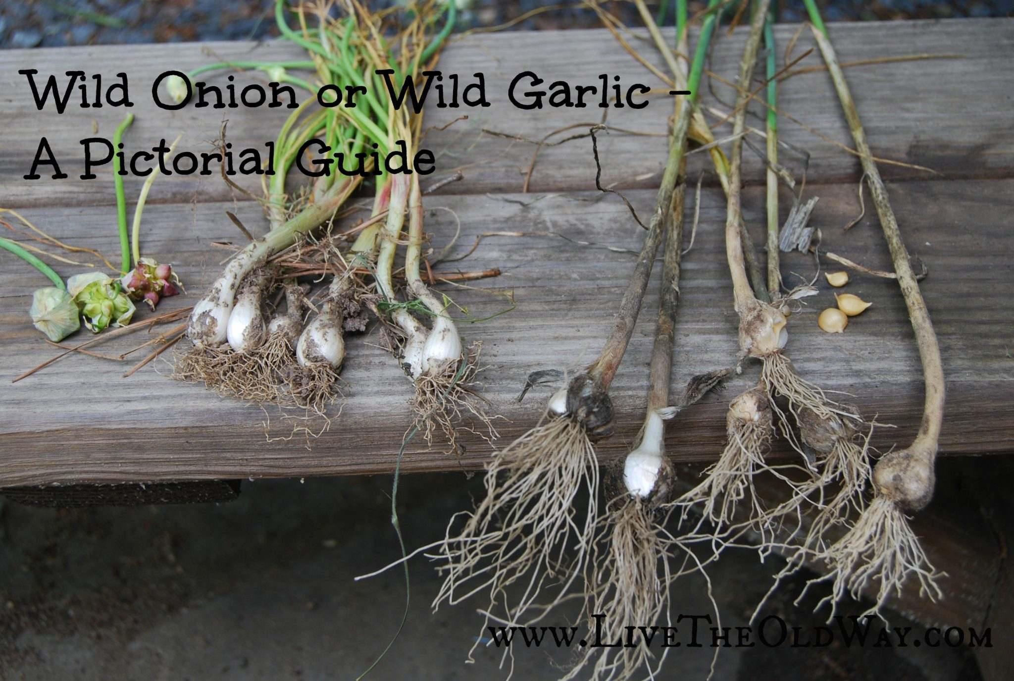 how to tell the difference in wild onion and wild garlic