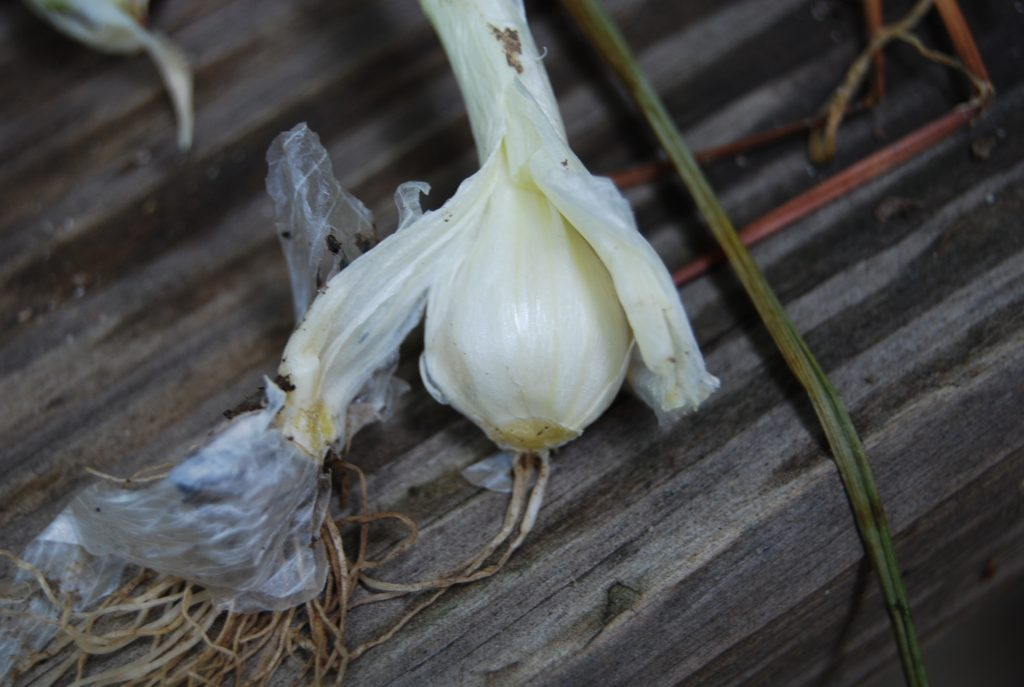 how to identify wild onion