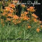 Delicious Daylilies