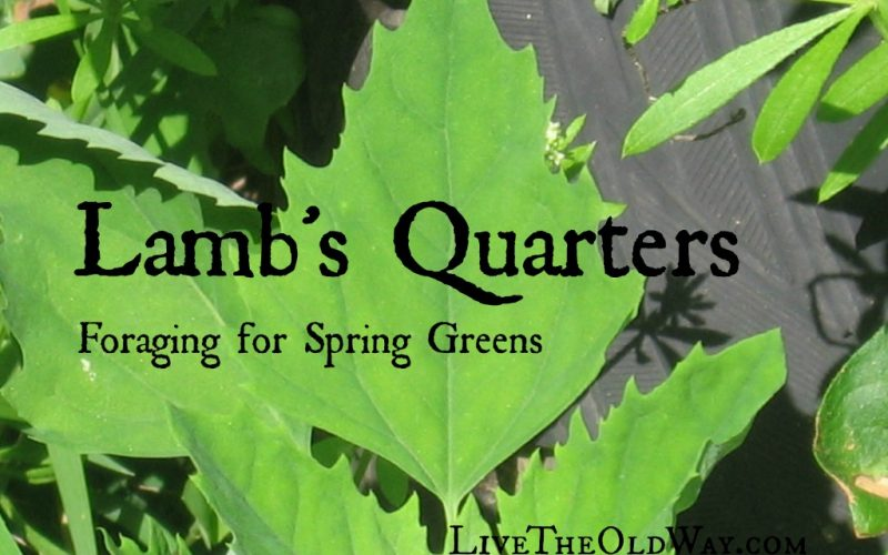 Lamb's Quarters – Foraging for Spring Greens