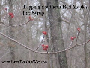 A Revelation – Tapping Southern Red Maples for Syrup!