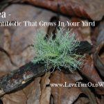 Usnea – The Antibiotic That Grows In Your Yard