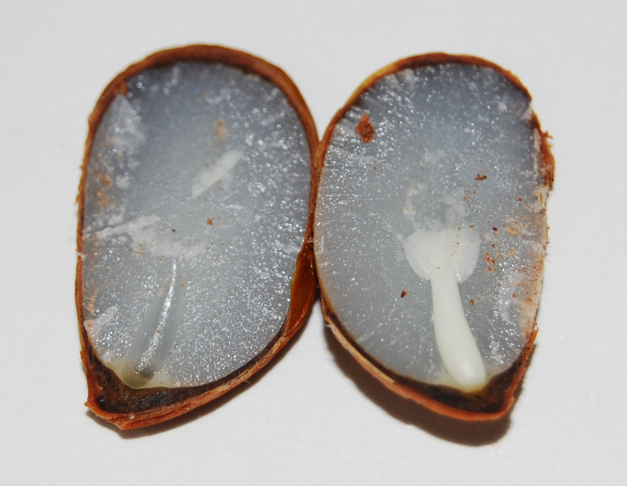 persimmon seed weather predicting